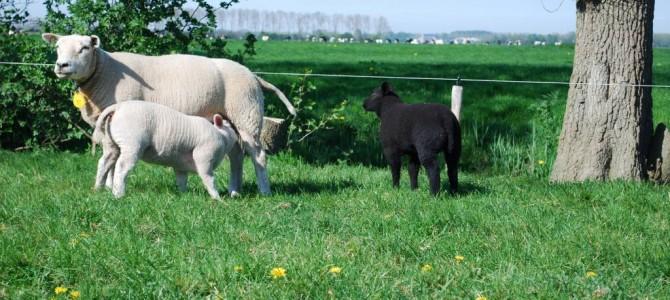 Lamsvlees van het Texels ras