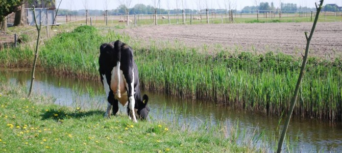 Rundvee van het Fries-Hollandse ras
